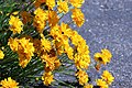 Coreopsis grandiflora IMG 3221-.jpg