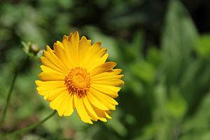 Coreopsis - Coreopsis lanceolata