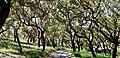 Cork Oaks Southern Portugal.jpg