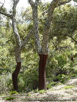 Cork Trees Ubrique.jpg