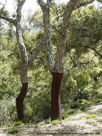Quercus suber - Image: Cork Trees Ubrique