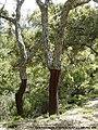 Cork Trees Ubrique.jpg