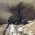 Cormorant Nest (9228376882).jpg