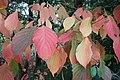 Cornus florida kz01.jpg
