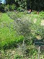 Corokia cotoneaster (Jardin des Plantes de Paris).jpg