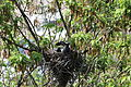 Corvus cornix nest 12 days.jpg