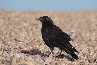 Corvus corone 20070813.jpg