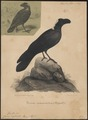Corvus crassirostris - 1835 - Print - Iconographia Zoologica - Special Collections University of Amsterdam - UBA01 IZ15700271.tif