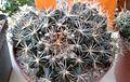 Coryphantha durangensis 1e.jpg