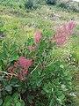 Cotinus coggygria, familija Anacardiaceae 04.jpg