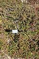 Cotoneaster adpressus - Quarryhill Botanical Garden - DSC03257.JPG