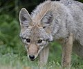 Coyote (Canis latrans) DSC2777a.jpg