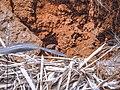 Crab living in red soil.jpg