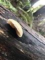 Crepidotus mollis 109165528.jpg
