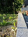 Crepis pulchra sl58.jpg