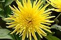Crisantemo (Chrysanthemum spp.) (14575419435).jpg