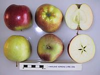 Cross section of Caroline Hopkins, National Fruit Collection (acc. 1956-035).jpg