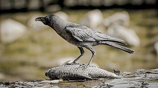 House crow Species of bird
