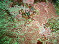 Crustose coralline algae at Windmill Beach PA111787.JPG