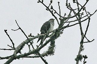 Lesser cuckoo Species of bird