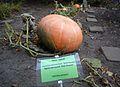 Cucurbita maxima, Poznan Botanical Garden.jpg