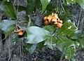 Cupaniopsis wadsworthii foliage and ripe fruit.jpg