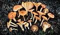 Cuphophyllus pratensis group 825081.jpg
