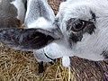 Curious Goat.jpg