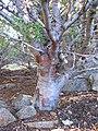 Cuyamaca Cypress, Cupressus stephensonii - Flickr - theforestprimeval.jpg