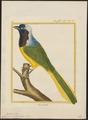 Cyanurus yncas - 1700-1880 - Print - Iconographia Zoologica - Special Collections University of Amsterdam - UBA01 IZ15700047.tif
