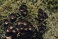 Cyathus striatus. Birds nest fungus, grows at Merthyr Mawr. 1975 (31021691915).jpg