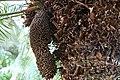 Cycas circinalis 29zz.jpg