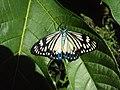 Cyclosia papilionaris - Drury's Jewel - at Peravoor (3).jpg