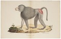 Cynocephalus hamadryas - 1818-1842 - Print - Iconographia Zoologica - Special Collections University of Amsterdam - UBA01 IZ20100011.tif