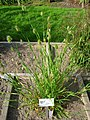 Cynosurus echinatus - Oslo botanical garden - IMG 8909.jpg