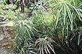 Cyperus alternifolius 0zz.jpg