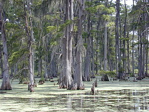 Swamp - Swamp in southern Louisiana