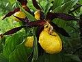 Cypripedium celceolus - Zueco de reina - Zapatilla de dama (9144074473).jpg