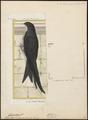 Cypselus apus - 1700-1880 - Print - Iconographia Zoologica - Special Collections University of Amsterdam - UBA01 IZ16700079.tif