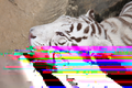 Daala Rainbow Vomit Tiger.png