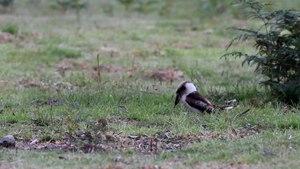 File:Dacelo novaeguineae catching a worm.ogv