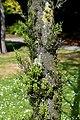 Dacrycarpus dacrydioides in Christchurch Botanic Gardens 02.jpg