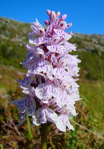Dactylorhiza Maculata Norway.jpg