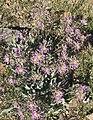Daggerpod plant early.jpg