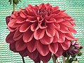 Dahlia from lalbagh 1935.JPG