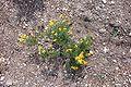 Damianita daisy (Chrysactinia mexicana).jpg