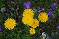 Dandelion-like Flowers - Alpine Flora.jpg