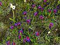 Darling Wildflower Reserve - Geissorhiza radians 2.JPG