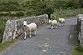 Dartmoor driving hazard - Flickr - exfordy.jpg