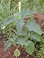 Datura stramonium pianta fiore-01.jpg
